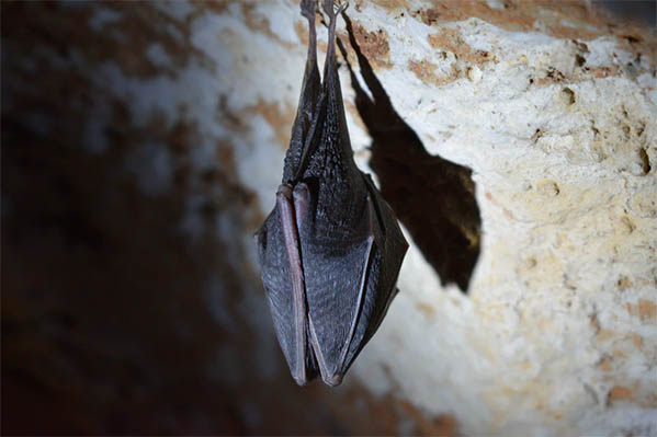 Bat surveys for renovation projects and barn conversions